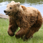 Brown bear Ursus arctos arctos running